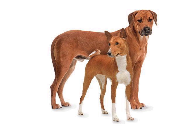 hund rhodesian ridgeback charakter